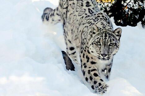 据考察,许多雪豹小群出现在西伯利亚、蒙古、中国的北部和哈萨克斯坦的东北部。图片来源:AP