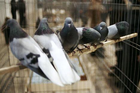 二十世纪中期鸽子曾是莫斯科的标志之一。1957年世界青年大学生艺术节是促成此事的一个契机。来源:俄新社