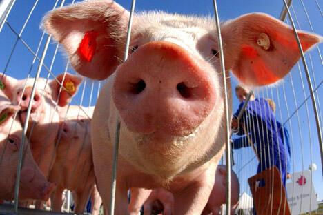 """双方争论的焦点在于俄罗斯于3月20日对欧盟活猪实施进口禁令。欧盟代表称此举为""""不成比例""""和毫无道理。图片来源:俄新社"""
