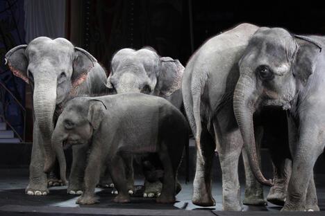 为了让大象不被冻坏,驯象师陪着它们一起在田野上奔跑。大象没受到任何伤害,但驯象师自己却被冻伤了。图片来源:PhotoXPress