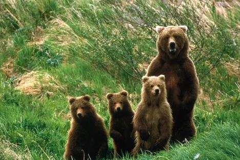 人怕熊还是恰好相反:在俄罗斯学习如何与熊打交道。图片来源:Flickr/Magadan