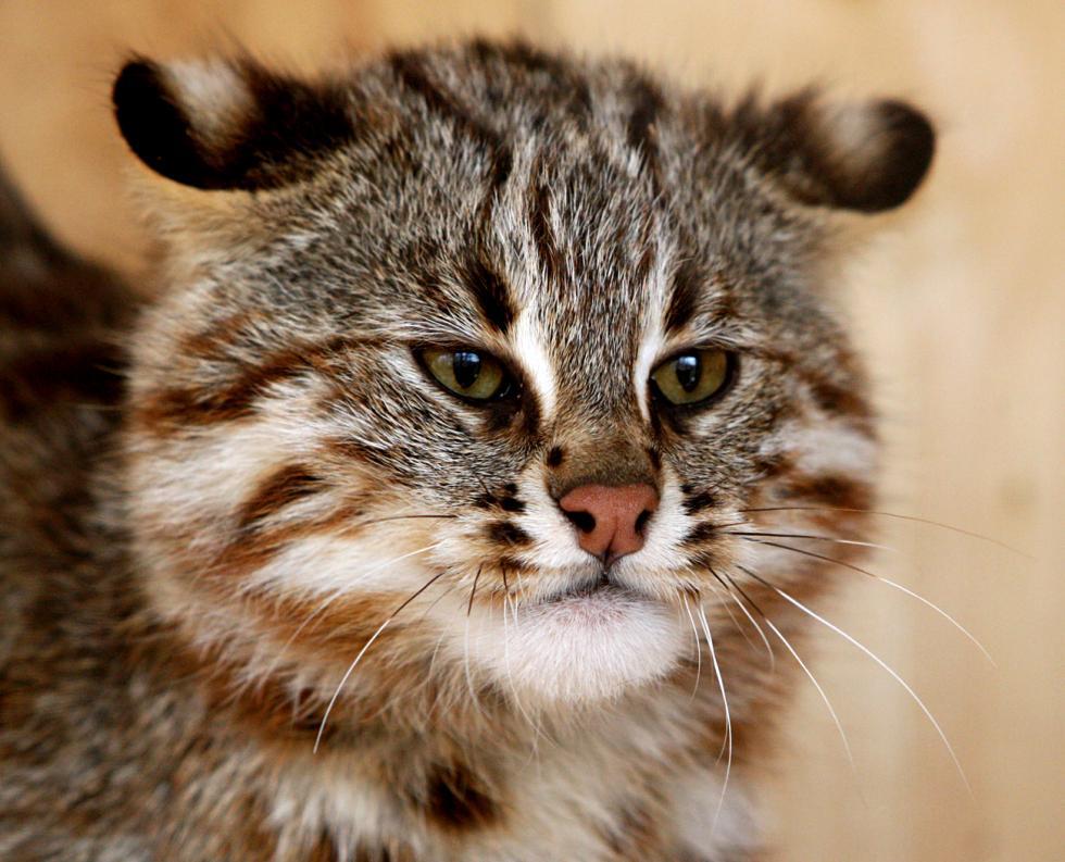 豹猫北方亚种。