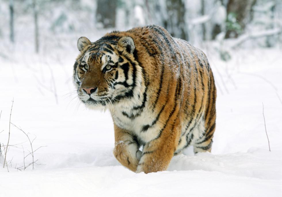 西伯利亚虎。