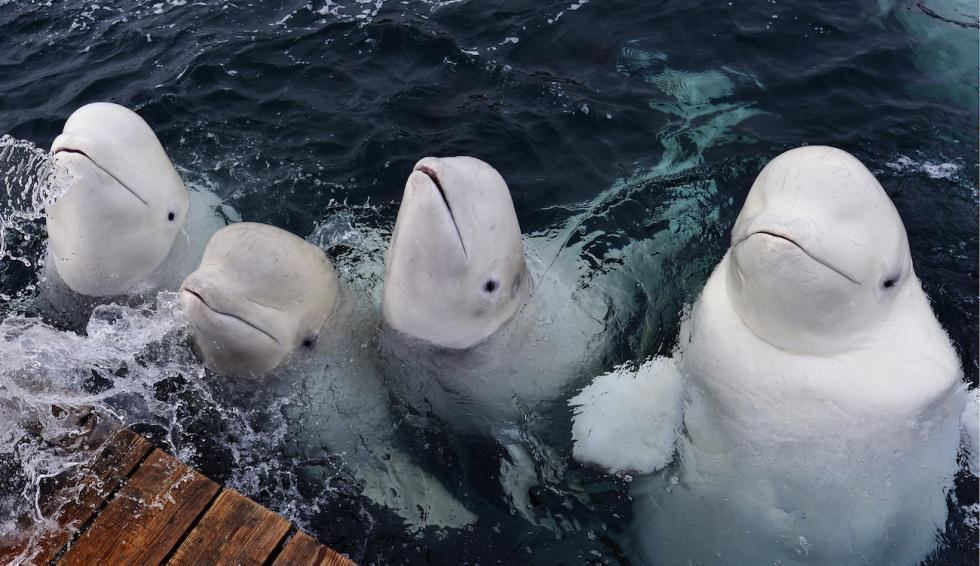白鲸。图片来源:Yury Smityuk/塔斯社