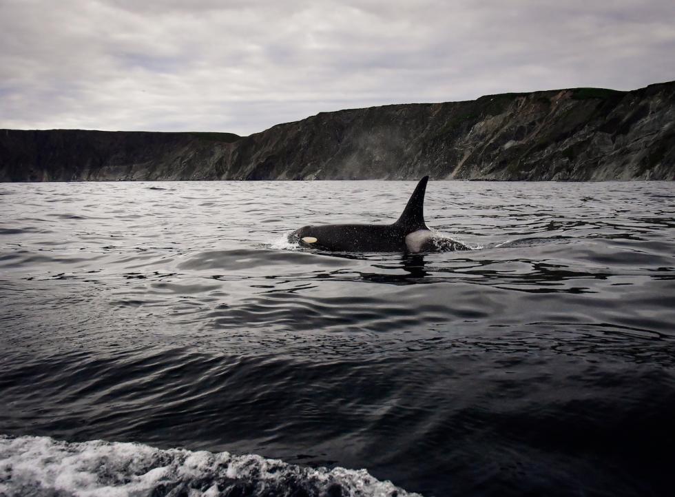 虎鲸。图片来源:Yury Smityuk/塔斯社