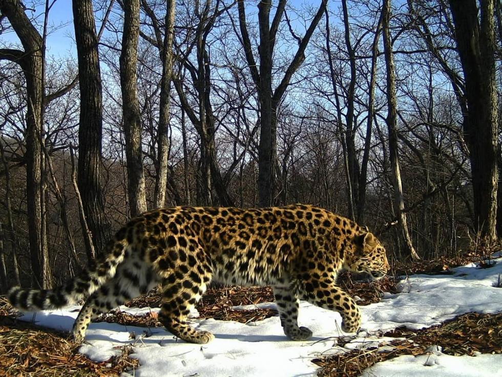 图片来源:俄罗斯远东豹地国家公园VK群
