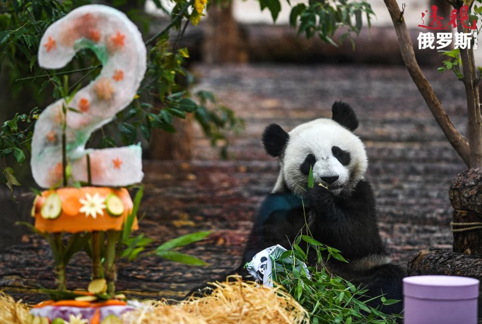 大熊猫丁丁在莫斯科动物园过生日。图片来源:Vladimir Astapkovich / 俄新社