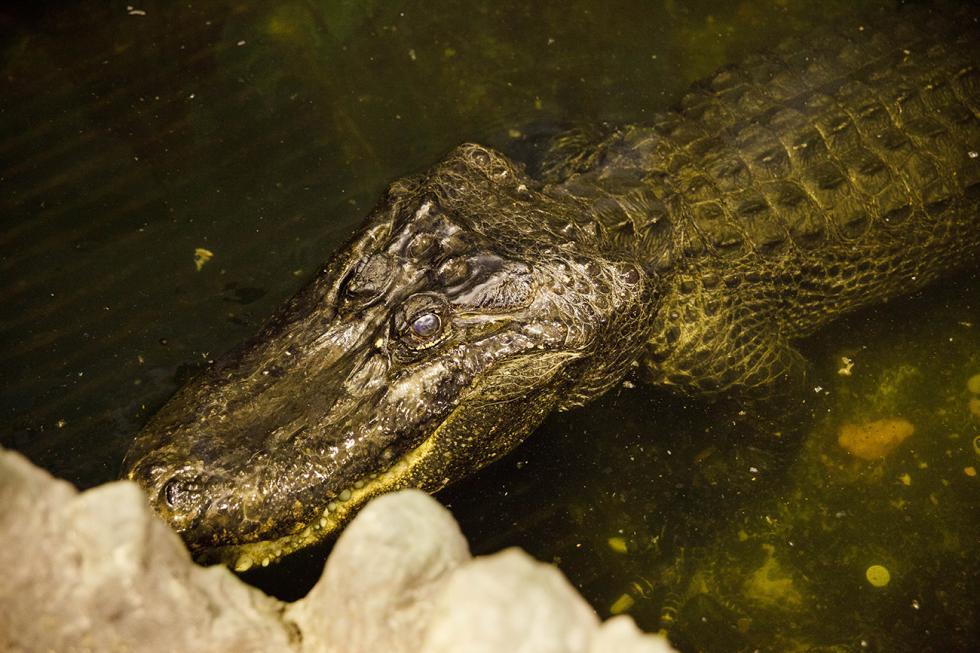 密西西比短吻鳄萨图恩。图片来源:Ruslan Sukhushin/RBTH