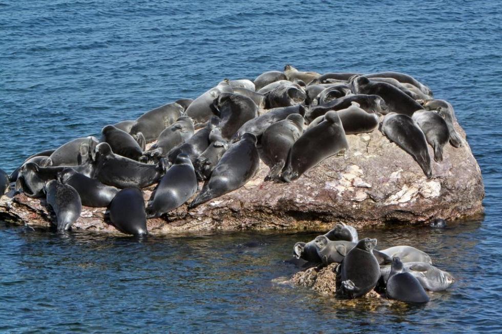 贝加尔海豹栖息处。