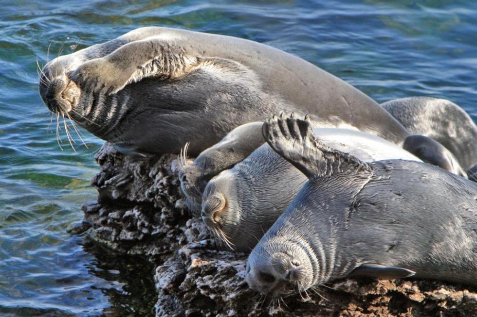 贝加尔海豹。